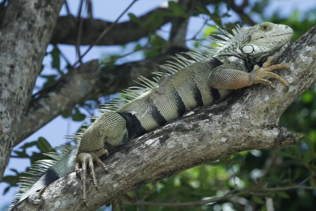 "This beauty was in the tree next to the house and was at least 3 feet long from tip to tail. By the way, how is it that the SyFy Channel hasn't made a movie called ""Biguana"" yet? I'd totally watch that."